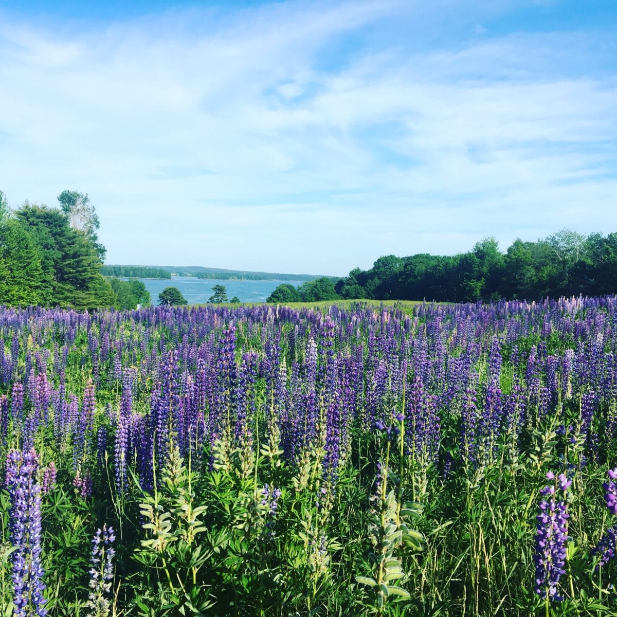 Lupines in bloom - Penobscot Bay, Camden ME